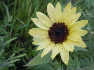 Cindy's sunflower