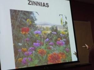 zinnias, drought superhero