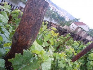 Viticulture: Week two, or three