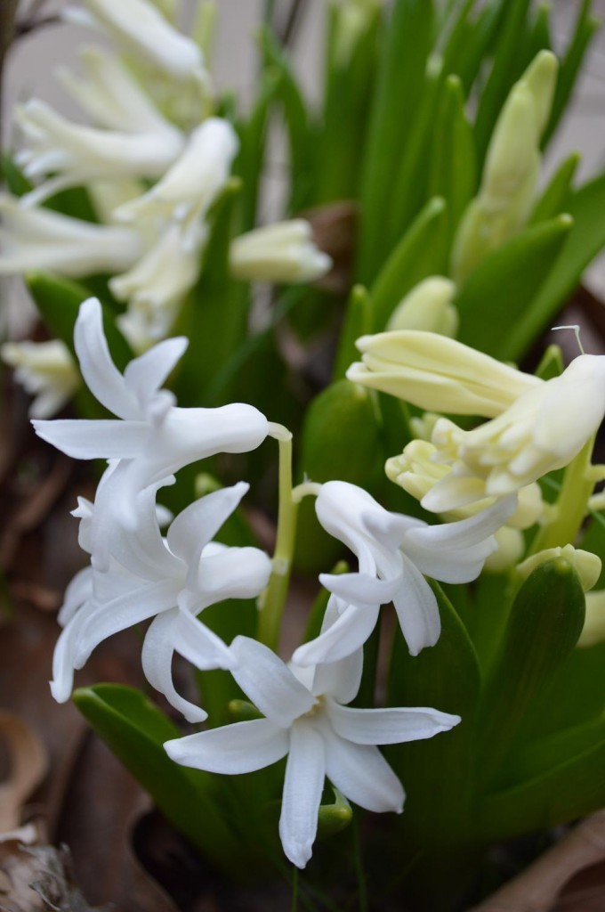 A great scent, too: hyacinth in bloom. (photo/Cindy Hadish)