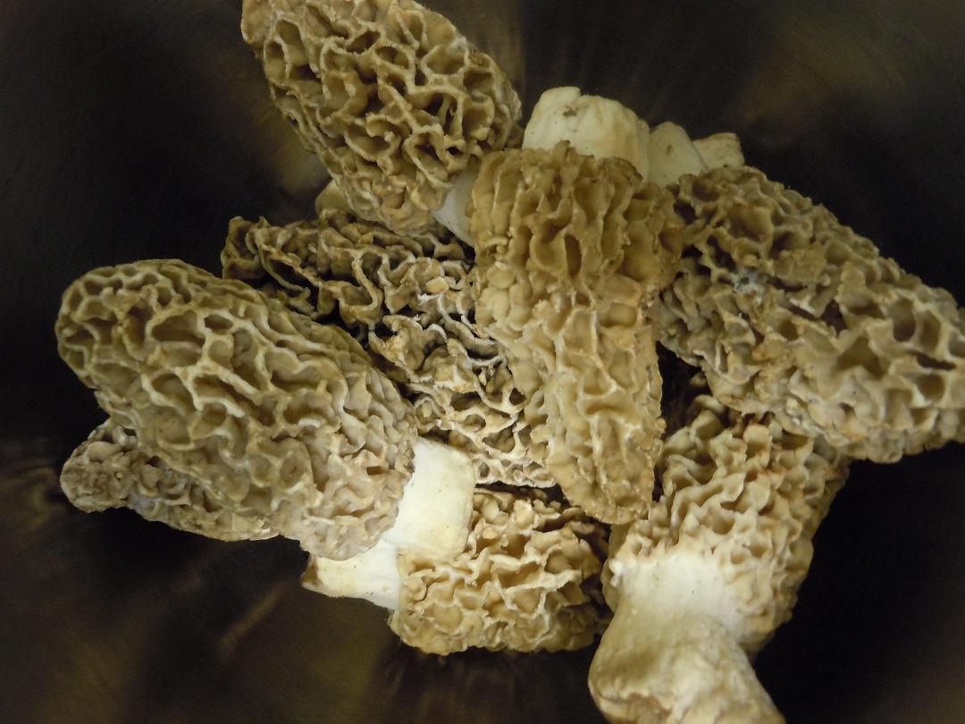 morel mushrooms/Cindy Hadish