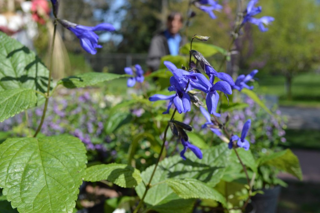 """""""Black and Blue"""" salvia, one of head gardener David Morton's favorite flowers, is shown during the annual Brucemore plant sale in Cedar Rapids. (photo/Cindy Hadish)"""