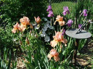 Iris are shown in bloom at the home of Wanda Lunn in Cedar Rapids, Iowa. (photo/Wanda Lunn)