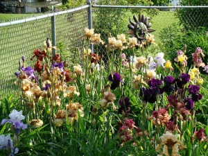 An open iris garden is scheduled for Sunday, June 2, 2013, in Cedar Rapids to showcase more than 200 varieties of iris in bloom. (photo/Wanda Lunn)