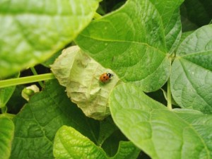 Asian lady beetles are another scourge of vineyards. Even one beetle in more than 7 pounds of grapes, dead or alive, can taint the wine. (photo/Cindy Hadish )