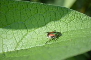 Japanese beetle watch ends in Cedar Rapids