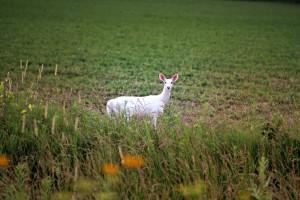 Albino deer attracting attention near Solon, Iowa