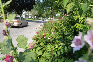 Cars drive past Timothy Volm's front yard in Iowa City on Friday, July 5, 2013. The city has ordered Volm to remove all of the plantings and replace with a groundcover, such as grass. (photo/Cindy Hadish)