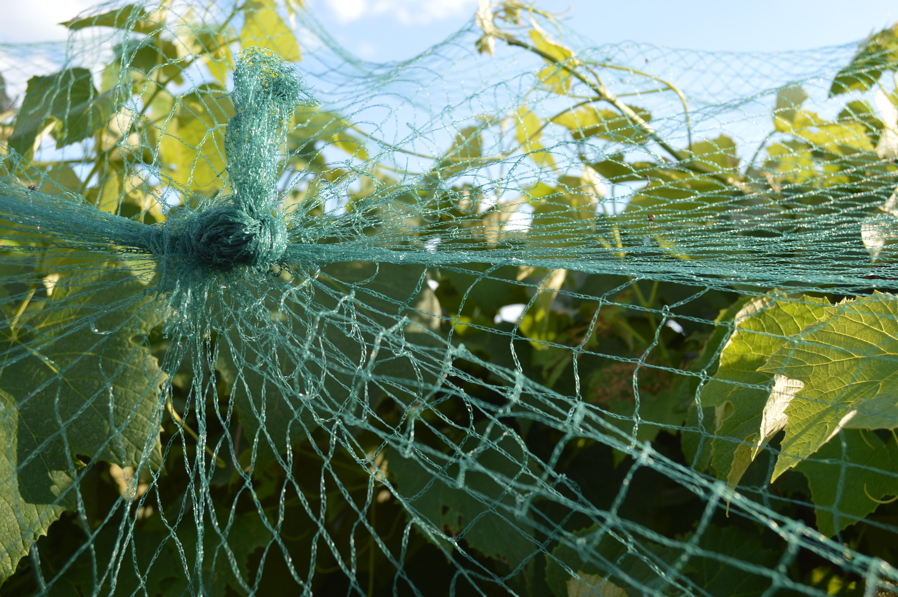 Viticulture: Night of the netting – Homegrown Iowan