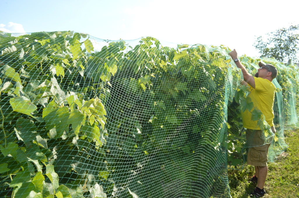 A classmate repairs netting in the Kirkwood Vineyard on Wednesday, July 24, 2013. (photo/Cindy Hadish)