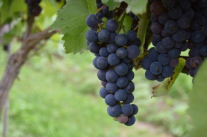 Marquette grapes grow in a trial vineyard at Tabor Home Vineyards and Winery near Baldwin, Iowa. Marquette is among the grapes under study in a trial directed by Iowa State University. Tabor is the only commercial vineyard in Iowa participating in the trial. (photo/Cindy Hadish)