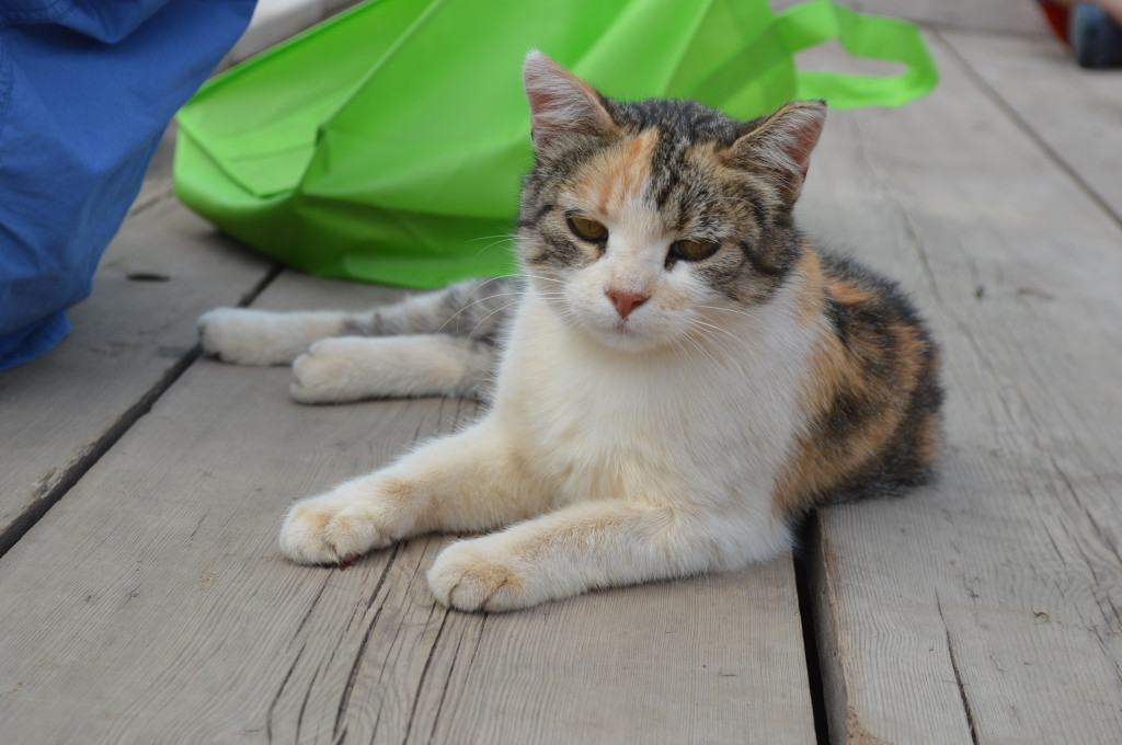 A cat lounges on a flatbed trailer during the field day at Abbe Hills Farm in rural Mount Vernon. (photo/Cindy Hadish)