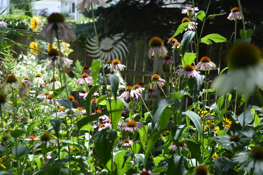 Purple coneflower bloom at the home of Monica Morley and her mother, Elena Murillo in northeast Cedar Rapids. (photo/Cindy Hadish)
