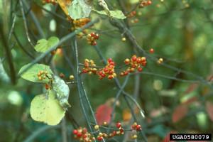 Volunteers needed to help remove invasive oriental bittersweet from Iowa park