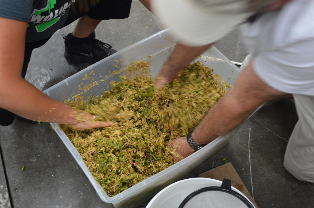 Rice hulls are added to the grapes as a pressing aide. (photo/Cindy Hadish)