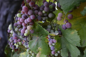 Catawba grapes, shown on Wednesday, Sept. 18, will be among the last to be harvested at the Kirkwood vineyard in Cedar Rapids. (photo/Cindy Hadish)