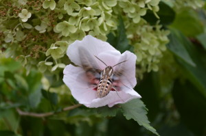 A whitelined sphinx hummingbird moth finds nectar in a Rose of Sharon blossom. (photo/Cindy Hadish)