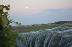 The moon rises over the Kirkwood Community College vineyard in Cedar Rapids, Iowa, on Sept. 18, 2013. (photo/Cindy Hadish)