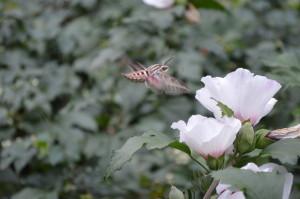 A whitelined sphinx hummingbird moth makes a beeline for a Rose of Sharon on Saturday, Sept. 14, 2013, in Cedar Rapids, Iowa. (photo/Cindy Hadish)