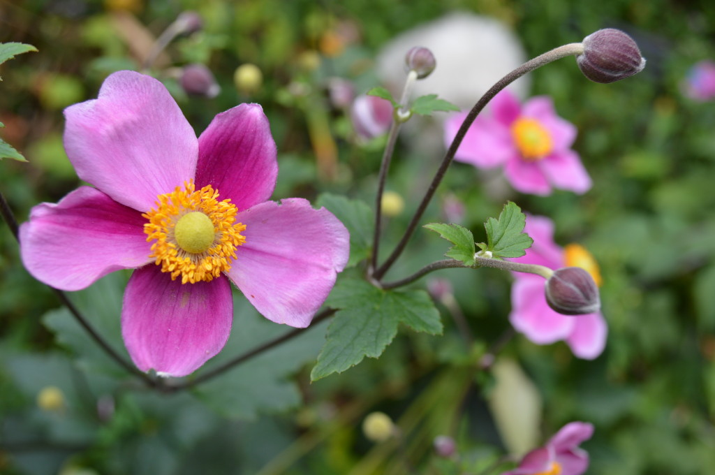 Pink Japanese anemone add color to fall gardens. (photo/Cindy Hadish)
