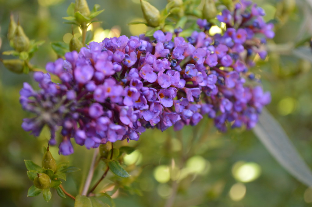 A butterfly bush appears unaffected by the frost on Sunday, Oct. 27, in Cedar Rapids, Iowa. (photo/Cindy Hadish)