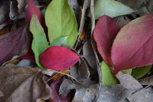 Leaves make a great garden mulch, but the key is in the storage. (photos/Cindy Hadish)