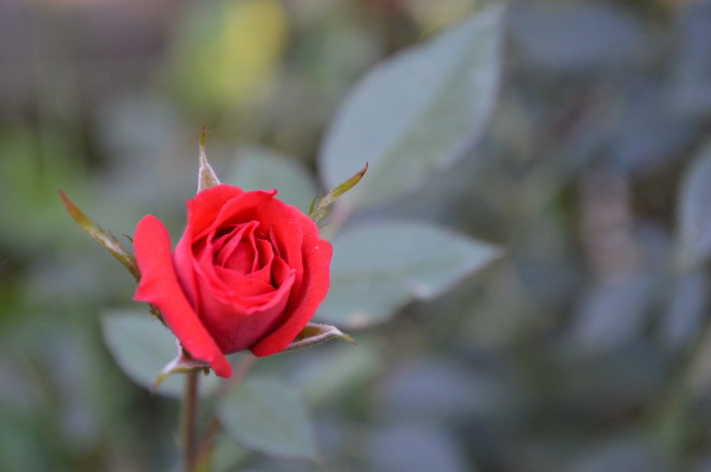 A miniature rose blooms on Sunday, Oct. 27, 2013, after Iowa experienced snow and a hard freeze. (photo/Cindy Hadish)