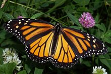Monarch butterfly/Wikipedia
