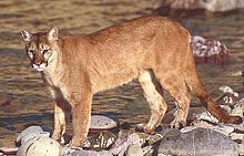 Mountain lion/Wikipedia photo