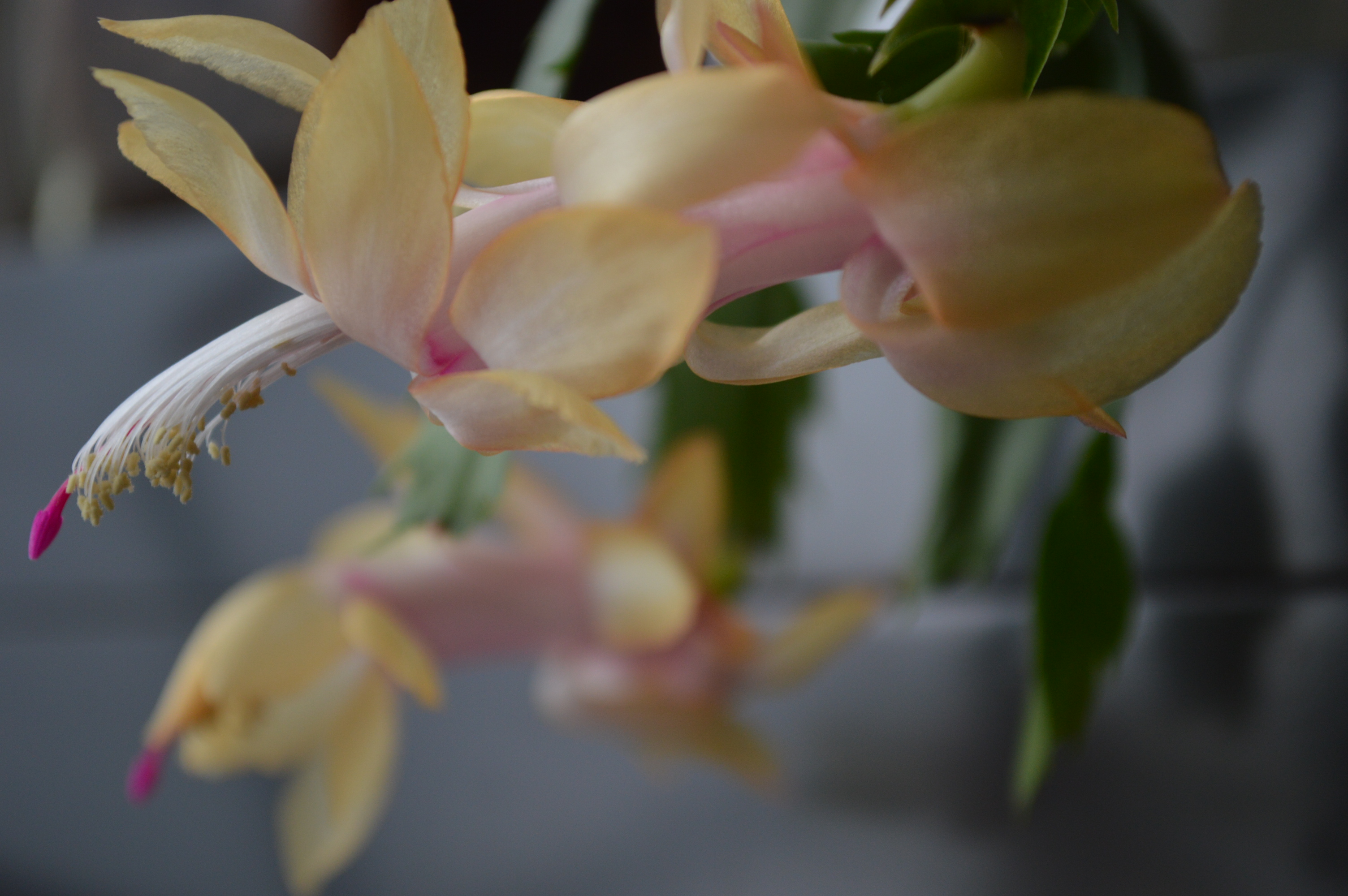 The Christmas cactus is considered a non-toxic plant. (photo/Cindy Hadish
