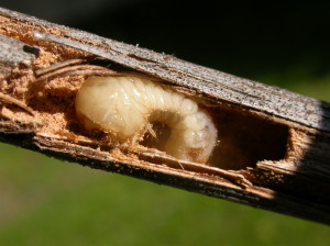 Many insects, such as this beetle larva, can avoid or tolerate extreme cold temperatures by living inside plant tissues or below ground. Here a twig borer grub spends the winter inside grape shoots. (photo/D. Haviland)
