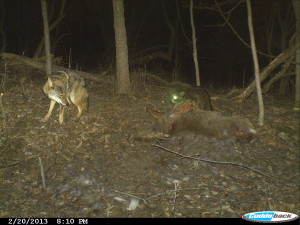 Animals vie for a deer carcass during this night-time scene from the trail cam. (photo/Indian Creek Nature Center)