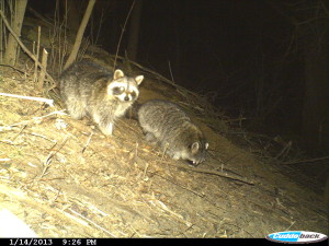 Raccoons are caught on-camera during the night by the Indian Creek Nature Center's trail cam. A new exhibit will highlight photos shot on the Nature Center's trails. (photo/Indian Creek Nature Center)
