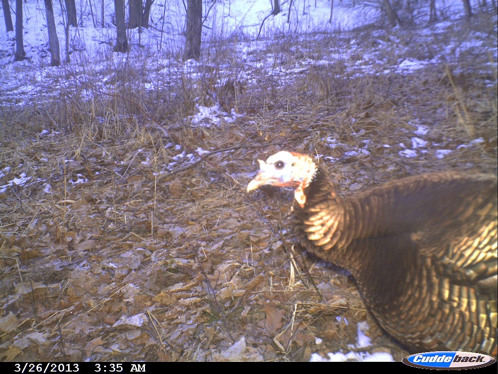 A wild turkey is caught on-camera by one of the trail cams. (photo/Indian Creek Nature Center)