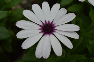 African daisy (osteospermum) photo/Cindy Hadish