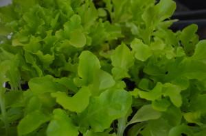 Spring greens at Iowa's winter markets