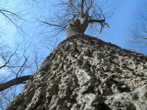Iowa's champion black ash (photo/University of Iowa Arborist Andrew Dahl)