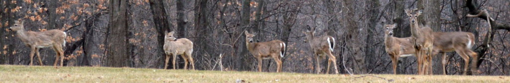 Deer saunter through a forested lot in southeast Cedar Rapids in April 2014. The Iowa Department of Natural Resources notes that chronic wasting disease has beenconfirmed in deer in the wild in Iowa. (photo/Cindy Hadish)
