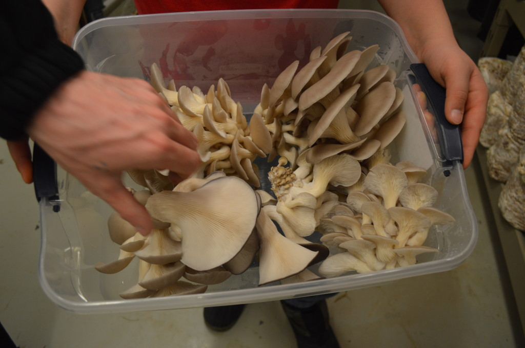 Oyster mushrooms that have been harvested from the grow room are carefully placed in containers. Both lion's mane and oyster mushrooms are sold at farmers markets and food co-ops. (photo/Cindy Hadish)