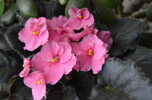 Other houseplants, including pink African violets, crowded the limited window space. (photo/Cindy Hadish)