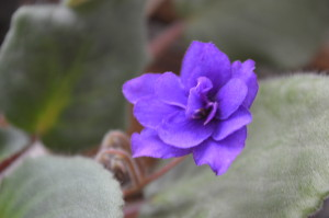 Grandma's African violet, blooming in April 2014, in Cedar Rapids, Iowa. (photo/Cindy Hadish)