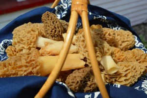 Morel mushrooms take center stage during the annual Houby Days festival in Cedar Rapids, Iowa. (photo/Cindy Hadish)