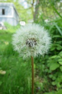 """Lazy for the bees"" and other reasons to let dandelions grow"