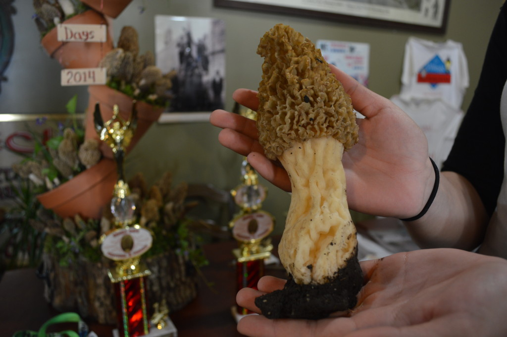 "The winner of the ""largest"" morel mushroom at Houby Days was found by Tom Brislawn in the area of Troy Mills, Iowa. (photo/Cindy Hadish)"