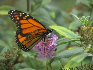 Free film screening in Iowa City sheds light on monarch decline