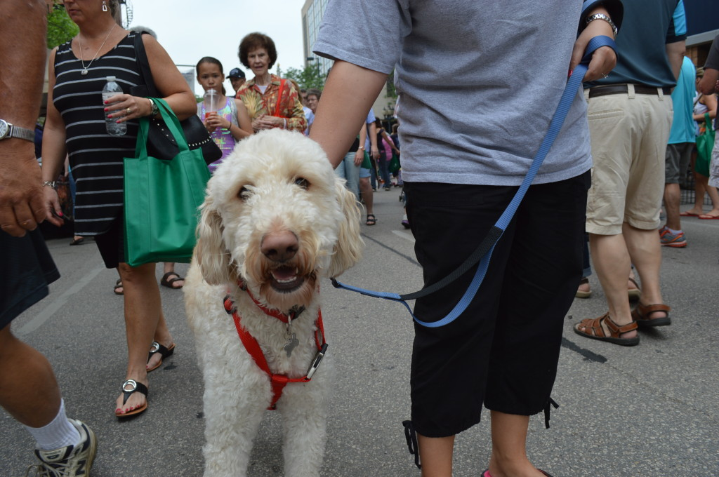 Chance, a goldendoodle, was among a number of  dogs doing the Downtown Farmers Market in Cedar Rapids, Iowa. (photo/Cindy Hadish)