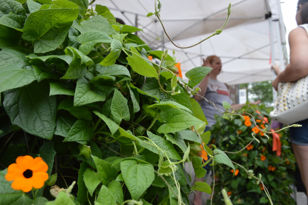 Thunbergia alata, commonly called Black-eyed Susan vine, is sold at Prochaska's Greenhouse during the first Downtown Farmers Market of the 2014 season. (photo/Cindy Hadish)