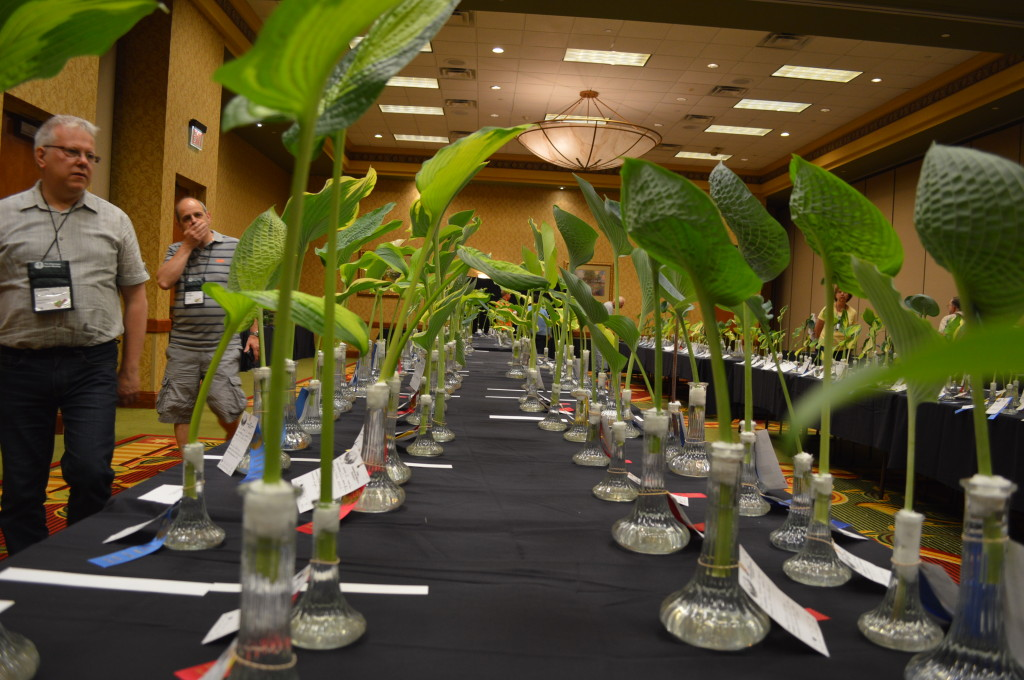 The cut leaf display generates amazement during the American Hosta Society national convention at the Cedar Rapids Marriott. The display is open to the public. (photo/Cindy Hadish)