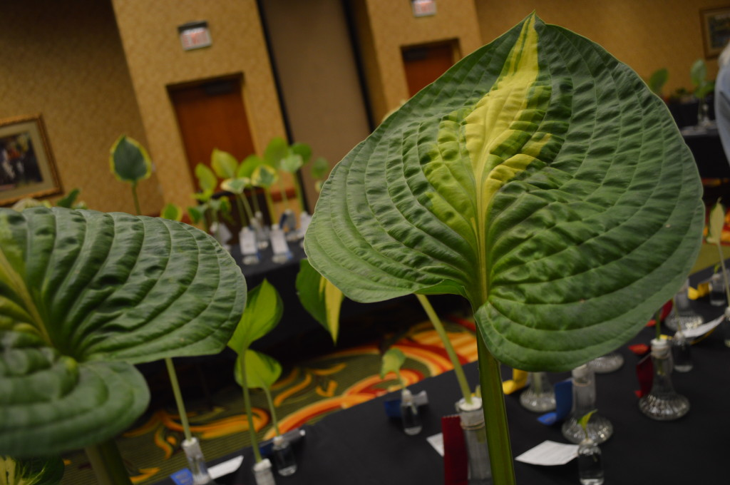 Seedling hosta, including this cross of Love Pat, have their own category of judging in the cut leaf display. The display is open to the public during the national conference from June 11-14, 2014. (photo/Cindy Hadish)