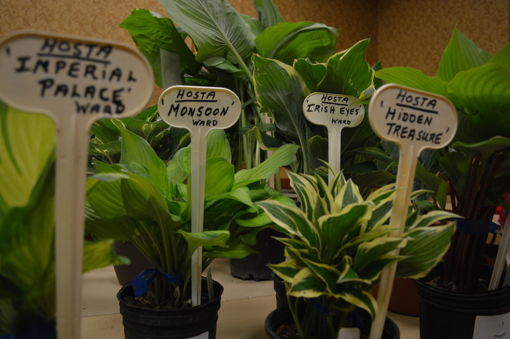 Hosta that will be auction during the American Hosta Society national convention are shown at the Cedar Rapids Marriott on June 12, 2014. The conference runs through June 14. (photo/Cindy Hadish)